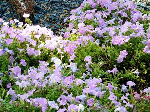 Summer landscape. Flowering plants outdoors. Landscaping: flower beds