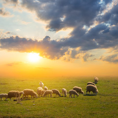 Photo sur Aluminium Sheep sheep herd graze on a pasture at the sunset, countryside scene