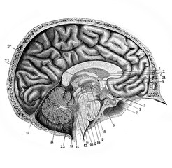 Brain from the side in the old book D'Anatomie Chirurgicale, by B. Anger, 1869, Paris
