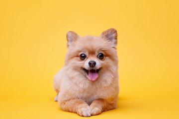 Portraite of cute fluffy puppy of pomeranian spitz. Little smiling dog lying on bright trendy yellow background. Free space for text. Fotobehang