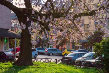 Uzhhorod, ukraine - MAY 01, 2018: Paulownia tomentosa tree in blossom, located on Koriatovycha Square. wonderful cityscape of the old town at sunset in evening light.