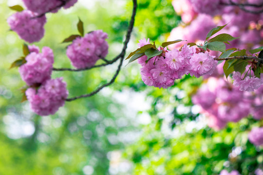 pink cherry blossom on the twig