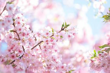 河津桜 満開 青空