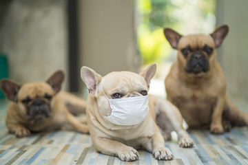 Coronavirus. Convid-19. French bulldog wears a face mask to prevent getting the CORONAVIRUS. CONVID-19 is spreading world wide.