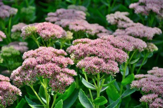 Stonecrop prominent pink sedum in the garden closeup.