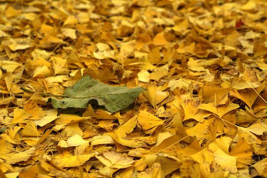 은행잎으로 가득 찬 바닥에 홀로 떨어져 있는 낙옆