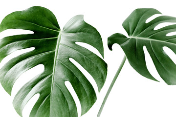 Wall Mural - Close-up of the Monstera leaf. Tropical palm leaves Monstera isolated on white background. Tropical nature concept.