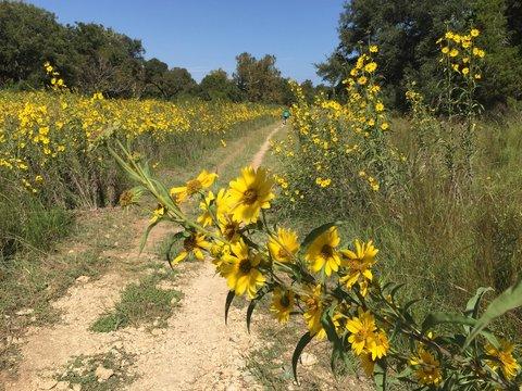 Closeup of golden yellow wild flowers on the Barton Creek trail in Austin, Texas