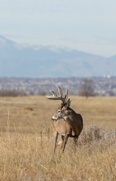 Buck Whitetail Deer in the Rut in Colorado in Autumn