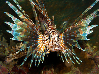 A lionfish does not want a photo and looks at the underwater photographer angrily.