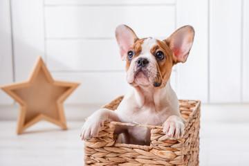 Photo sur Aluminium Bouledogue français French bulldog puppy sitting in a basket, light background, at home