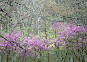Printed roller blinds Purple Eastern redbud trees in peak spring bloom are framed by the branches of trees yet to leaf out on the shoreline of a woodland pond.