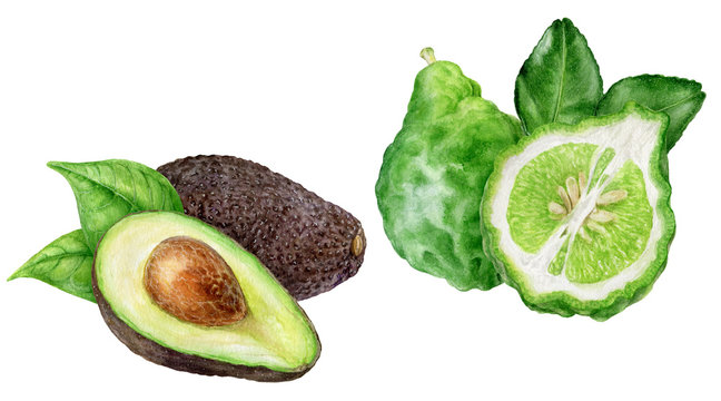 Bergamot with leaves avocado watercolor isolated on white background
