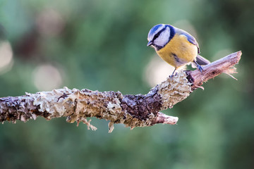Bluetit bird standing on dry tree branch