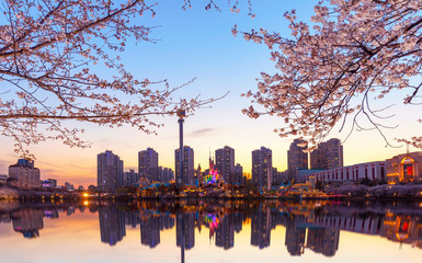 Sunset , Spring Time and cherry blossom in Spring of Seoul South Korea
