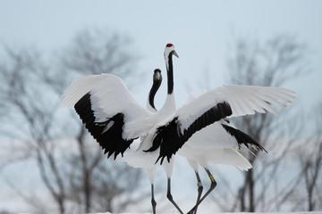 Foto op Canvas Zwaan Red-crowned cranes dancing in Tsurui village