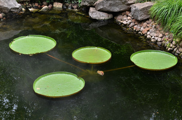 Foto op Plexiglas Waterlelies water lily in a pond