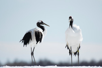 Pair of red-crowned cranes in Tsurui village