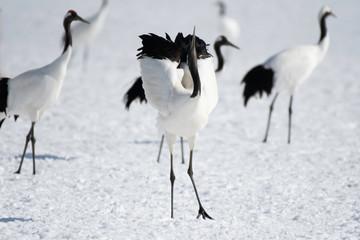 Red-crowned crane displaying