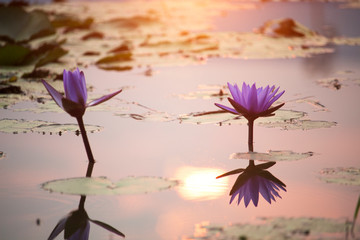 Garden Poster Lotus flower Purple lotus flowers are blooming with sunset