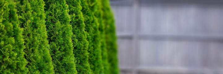 Green thuja trees Wall mural