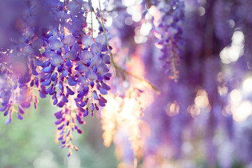Fotomurales - Spring flowers wisteria blooming in sunset garden. Beautiful flowering trellis blossom in Chinese and Japanese park.