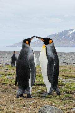 Küssende Pinguine in der Antarktis - Könisgpinguin Kuss