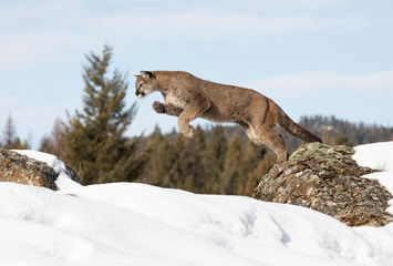 Photo sur Aluminium Puma Cougar or Mountain lion (Puma concolor) jumping from one rock to another in the winter snow in Montana, USA
