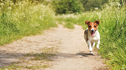 Small Jack Russell terrier running towards camera on dusty country road, her tongue out, sun shines to green grass on both sides. Wide photo, space for text left