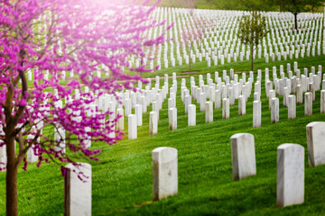 Fototapete - Many tombs in rows, graves on military Arlington cemetery and blooming spring cherry tree with flowers