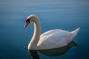 Fotorolgordijn Zwaan Majestic white swan on Lake in beautiful evening light