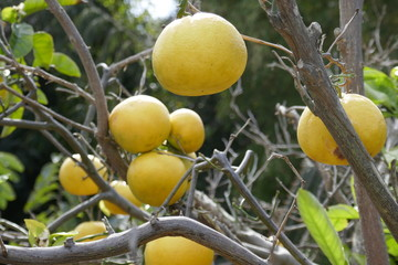 Cocktail grapefruits on tree