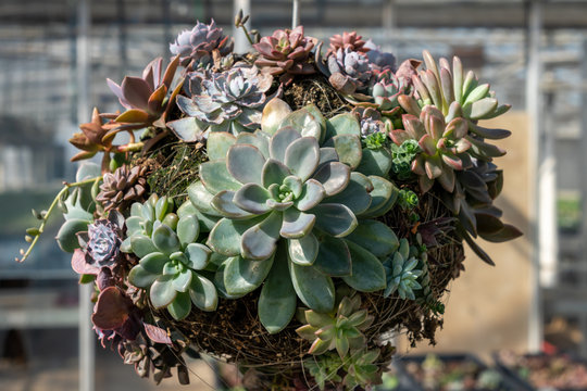 A decorative ball or round planter covered with succulents growing in the sunshine. A garden project or decorating idea for sale in a garden center or greenhouse.