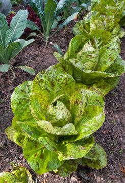 Organic Lettuce - Lactuva Sativa Freckles