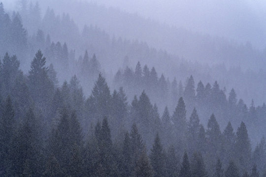 Forest in Fog and Snow