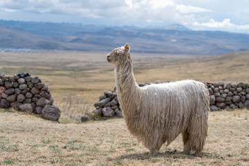 Fotorolgordijn Lama Alpaca in Peru Highlands Andes Mountains
