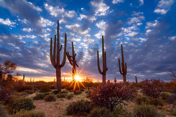 Saguaro cactus and Arizona desert landscape at sunset