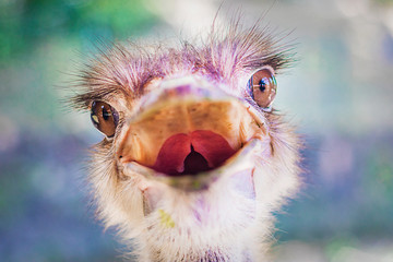 Close up portrait of angry funny ostrich animal looking at camera with open mouth. Head of camel exotic bird (Struthio camelus) in national park. Nature background..