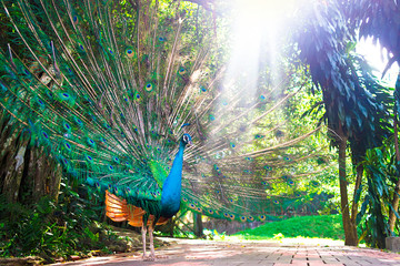 Papiers peints Paon Portrait of beautiful bird, male peacock showing demonstrating his big colourful open tail. Gorgeous exotic tropical bird showing off his beautiful tail feathers in sunlight, sun shine