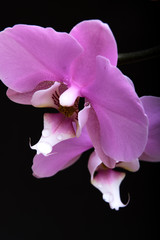 Foto op Canvas Lelie An orchid flower with dew drops on a black background. A close-up.