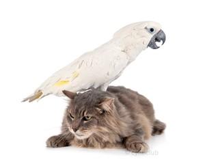 Fototapete - cat and White cockatoo