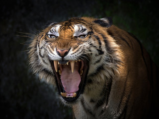 Poster de jardin Tigre Sumatran tigers are roaring horribly.