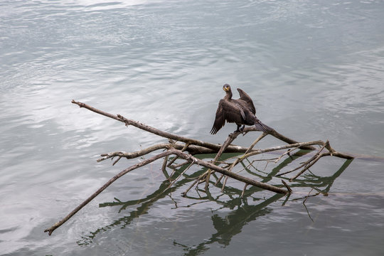 Cormorant drying his wings on the river Rhone in Lyon France.