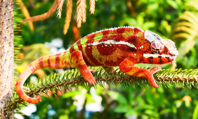 Foto op Aluminium Kameleon animal chameleon panther lizard Colorful beautiful on branch