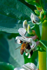 Foto op Aluminium Vlinder Beautiful Bee macro in green nature