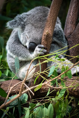 Koala sleeping in eucalyptus tree in Queensland