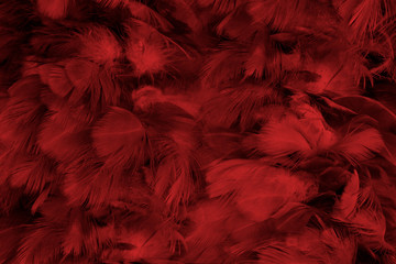Foto op Canvas Zwaan Beautiful dark red maroon feather pattern texture background