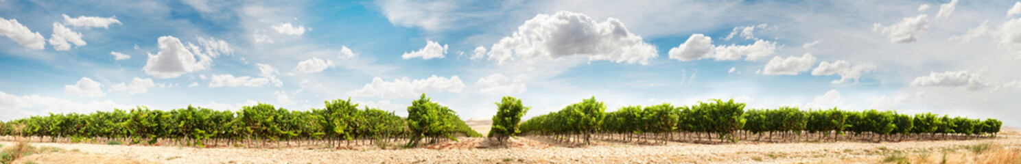 Foto auf Leinwand Beige Vineyards panoramic image