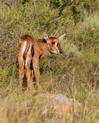 Newly Born Sable Antelope