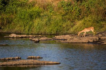 Impala drinking water